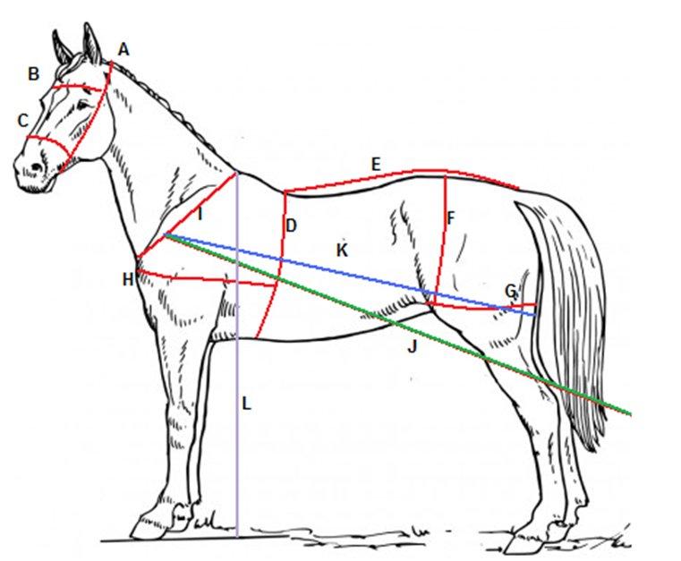 Pferd Maßblatt